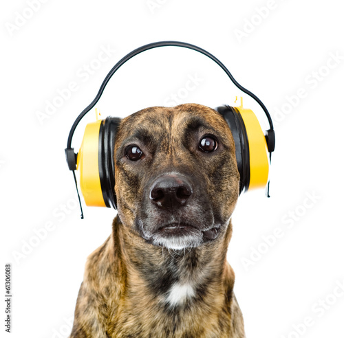 Staande foto Dragen dog with headphones for ear protection from noise. isolated