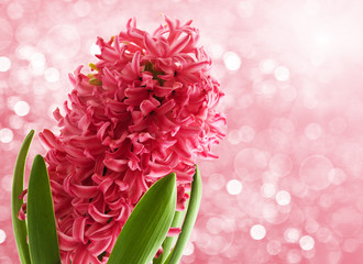 Spring Pink Hyacinth on a bokeh backgound