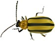 Black Yellow Beetle