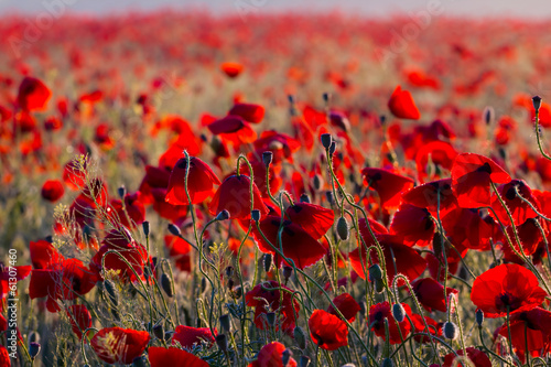 beautiful red poppy field