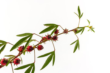 Hibiscus sabdariffa or roselle fruits.
