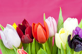 Dutch Tulips on violet background