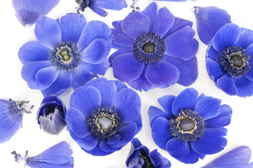 Blue Anemones in bed of milk