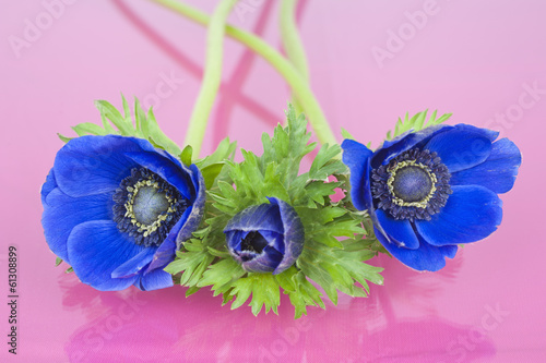 Three blue Anemones on a pink background