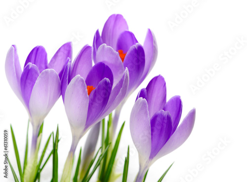Purple Crocuses close up