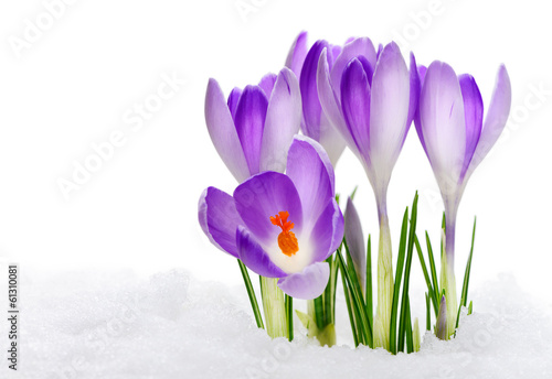 Fotobehang Krokussen Purple Crocuses