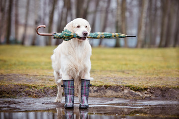 golden retriever dog holding an umbrella