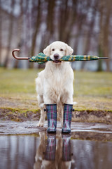 golden retriever dog ready for rainy weather