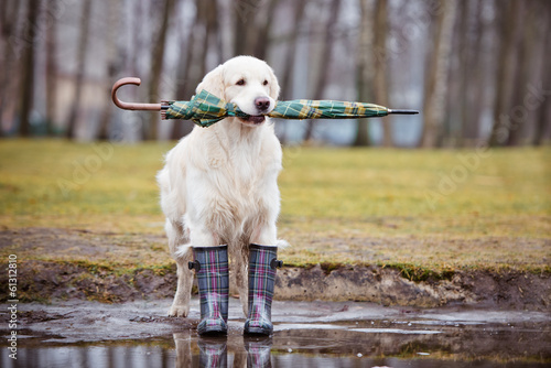 golden retriever dog holding an umbrella