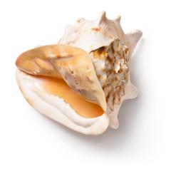 Horned helmet shell (Cassis cornuta)