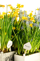 Muscari and narcissus spring potted flower