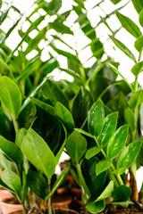 Zamioculcas zamiifolia potted house plant
