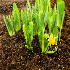 Seedling of narcissus spring flowers