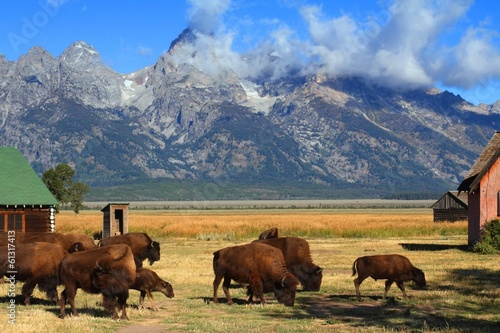 Aluminium Buffel Bison and Mormon Row Barn in the Grand Tetons