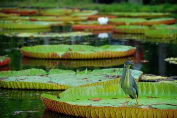 Giant water lilies. Botanical Garden, Pamplemousses, Mauritius