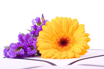 yellow marguerite and pink flower for a withe background