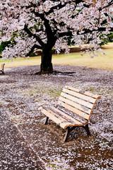 満開の桜の木の下のベンチ