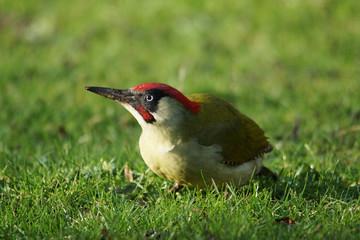 BIRDS - Green Woodpecker / Dzięcioł zielony