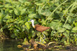 African Jacana in the Wetlands