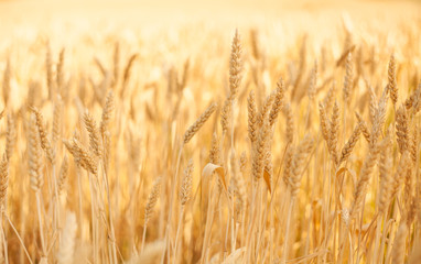 Golden wheat in a field
