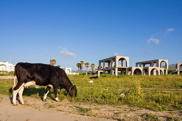 Stagnating construction: cow amidst construction sites