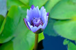 Blue water lily. flower bud