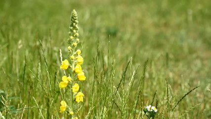 Yellow flowers of Great Mullein - Verbascum thapsus