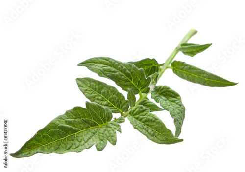 Tomato leaf closeup