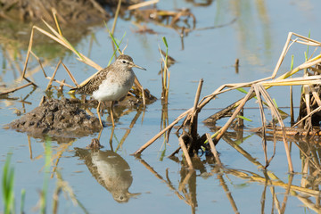 Wood Sandpiper (Tringa glareola) in rice pond