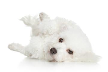 Bichon Frise dog resting