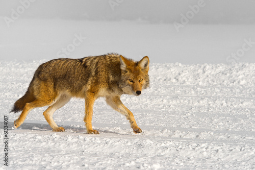 Tuinposter Wolf passing coyote warily eyes the photographer