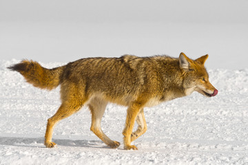 Coyote licks its own nose while running