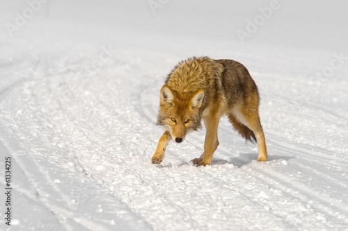 cautious coyote approaches
