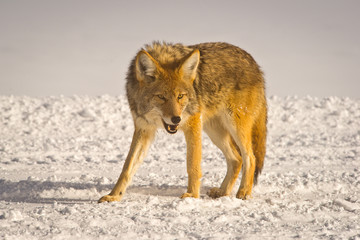 Coyote snarls at intruder