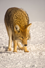 Wary coyote searches for food