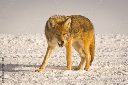 Foto op Plexiglas Wolf Coyote snarls at intruder