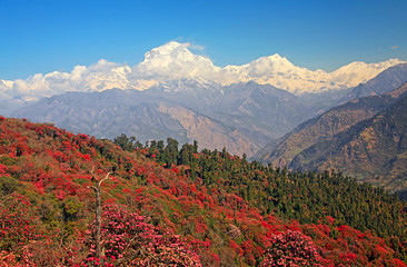 Dhaulagiri peak (8167 m) with spring rhododendron forest.