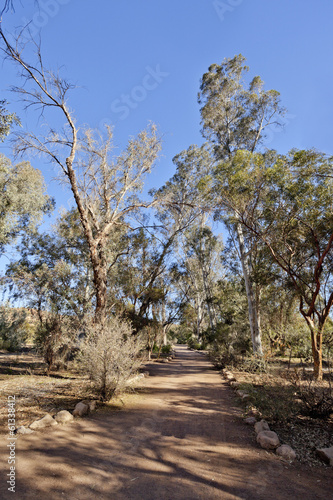 Alley of Eucalypt Trees; Arizona in Winter