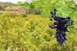 grappe de raisin rouge sur fond de vignoble