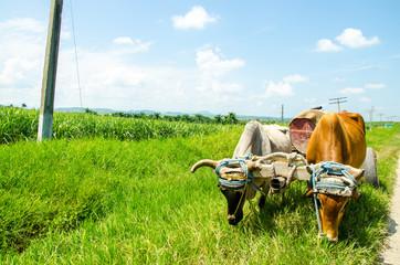 Ox cart, Cuba