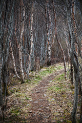 Narrow footpath goes through dark birch forest in spring season