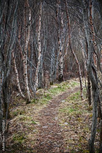 enger-fusweg-geht-durch-dunklen-birkenwald-im-fruhjahr-jahreszeit