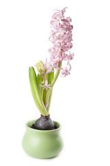 Pink hyacinth growth