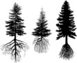 three firs with roots isolated on white