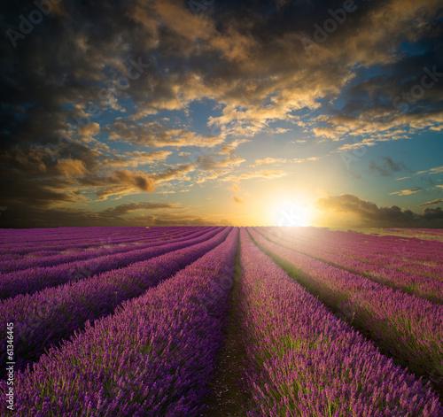 Vibrant Summer sunset over lavender field landscape - 61346445