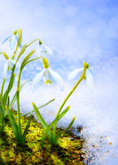 Art Spring snowdrop flowers with snow in the forest