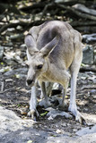 Australian western grey kangaroo in New South Wales, Australia