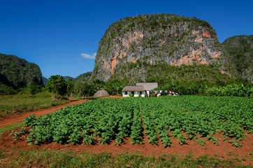Nature view of tobacco plantations and mogotes - Cuba, Vinales