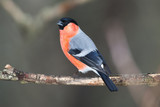 Bullfinch perched on a branch