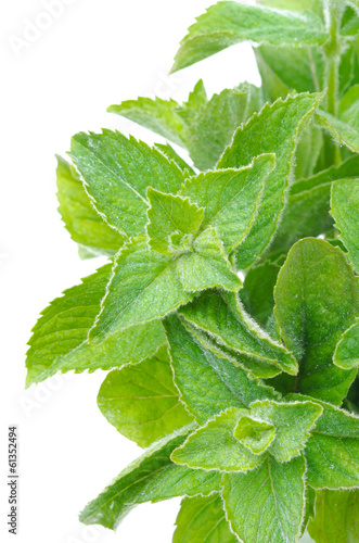 branch of fresh mint isolated on white